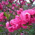 庭の花(2008/4/6)