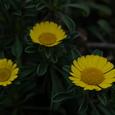 庭の花(2008/4/13)